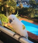 Clive the cockatoo in Neutral Bay