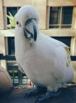 Laurence the cockatoo is a creature of the urban jungle.